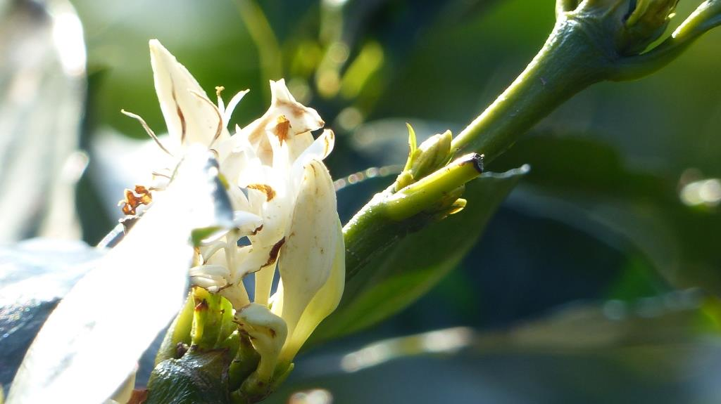 fleurs du caféier