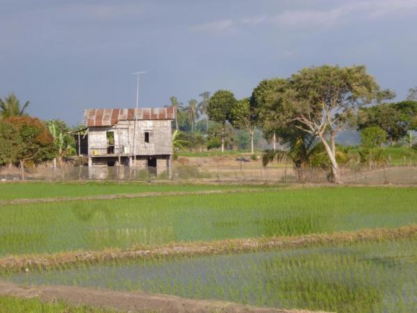culture de riz